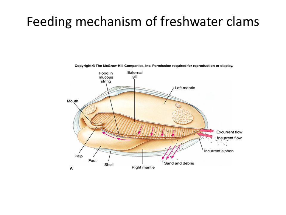 Feeding mechanism of freshwater clams