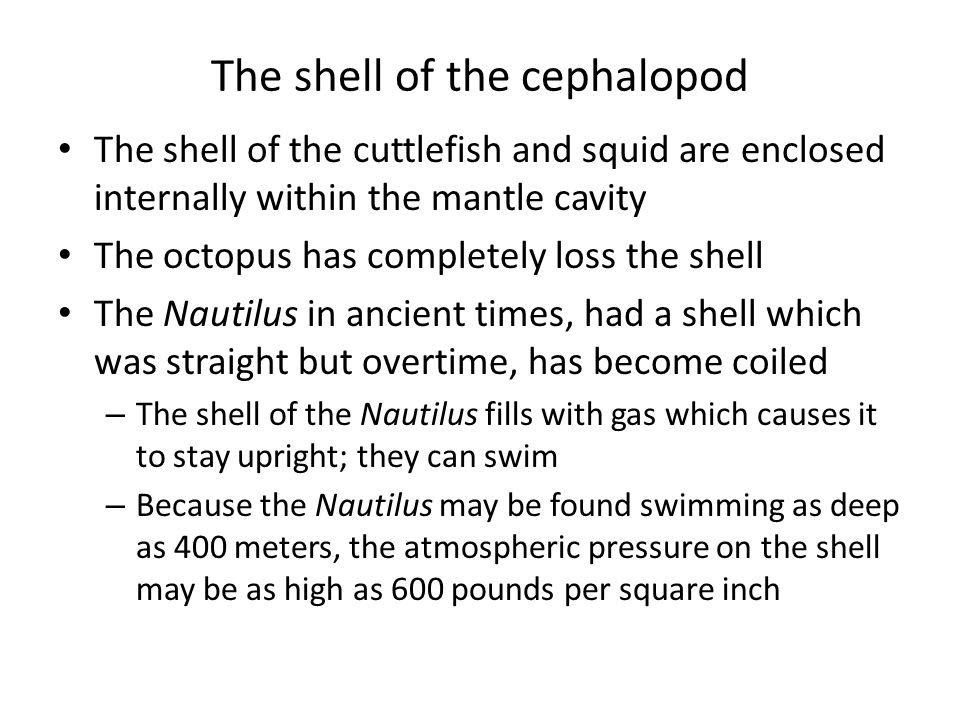 The shell of the cephalopod