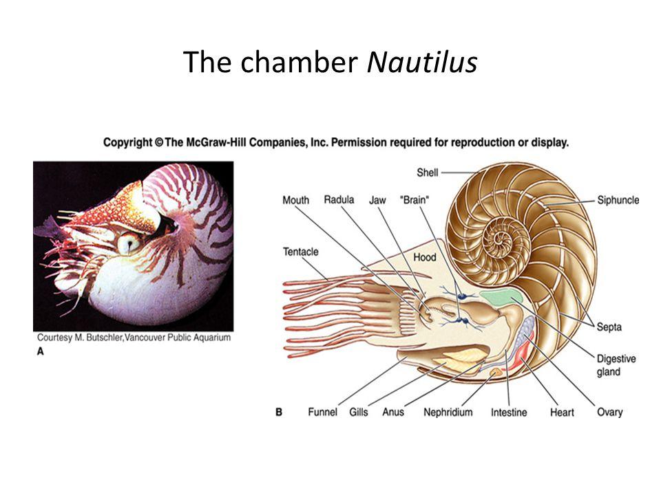 The chamber Nautilus
