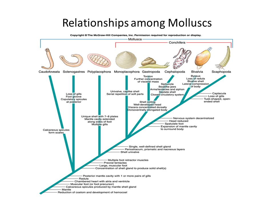 Molluscs ppt video online download 7 relationships among molluscs ccuart Gallery