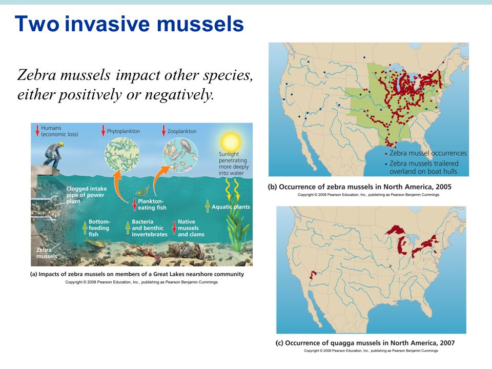 Two invasive mussels Zebra mussels impact other species, either positively or negatively.