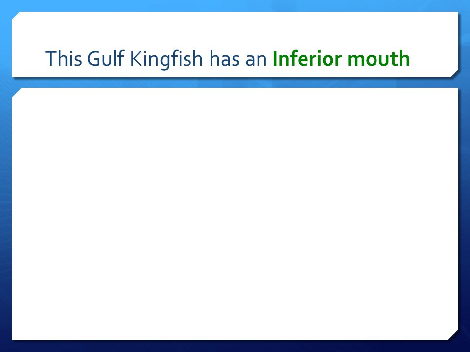 This Gulf Kingfish has an Inferior mouth