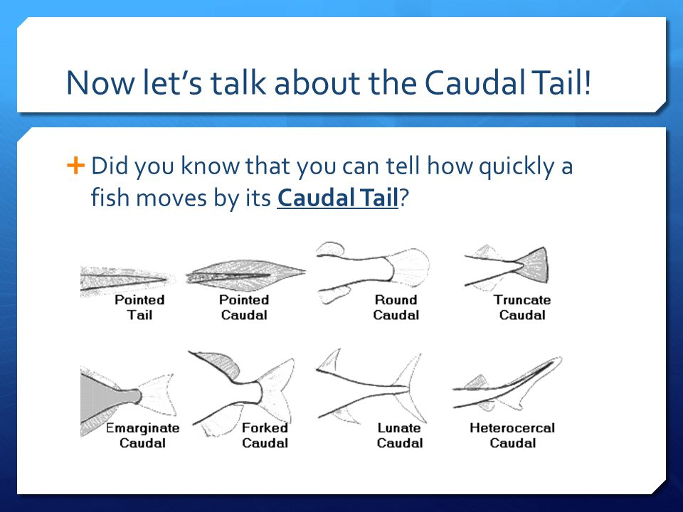 Now let's talk about the Caudal Tail!