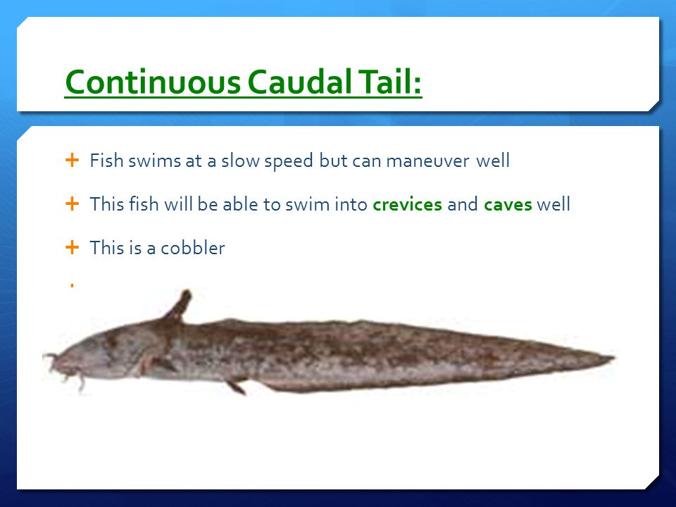 Continuous Caudal Tail: