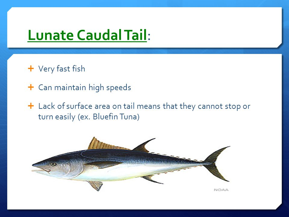 Lunate Caudal Tail: Very fast fish Can maintain high speeds
