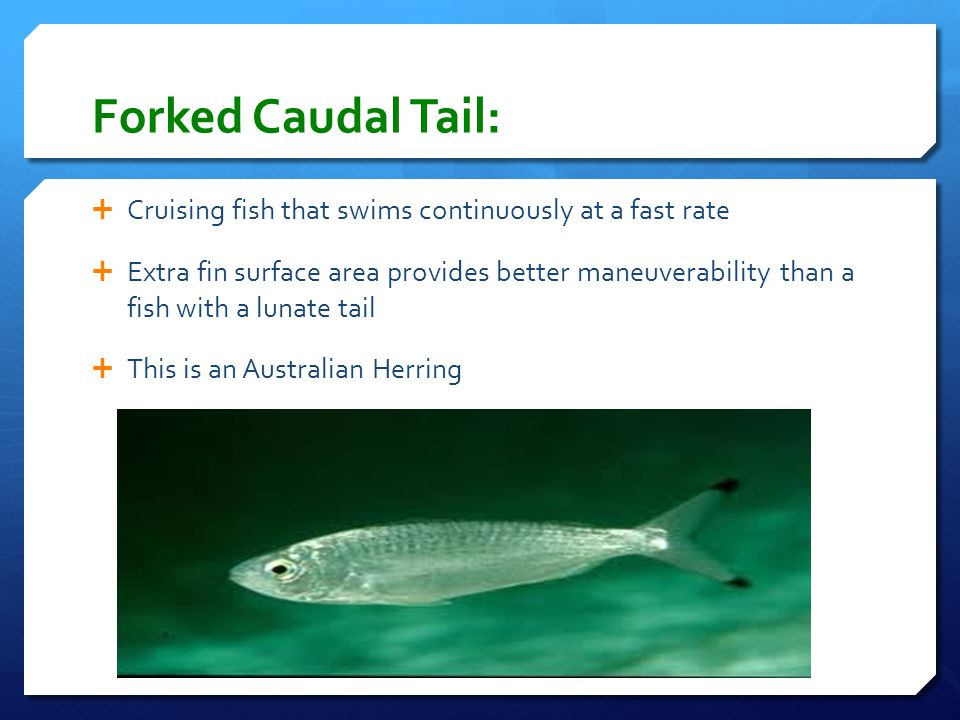 Forked Caudal Tail: Cruising fish that swims continuously at a fast rate.