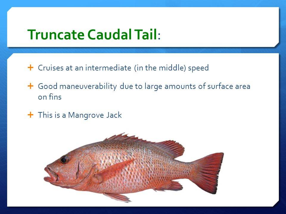 Truncate Caudal Tail: Cruises at an intermediate (in the middle) speed
