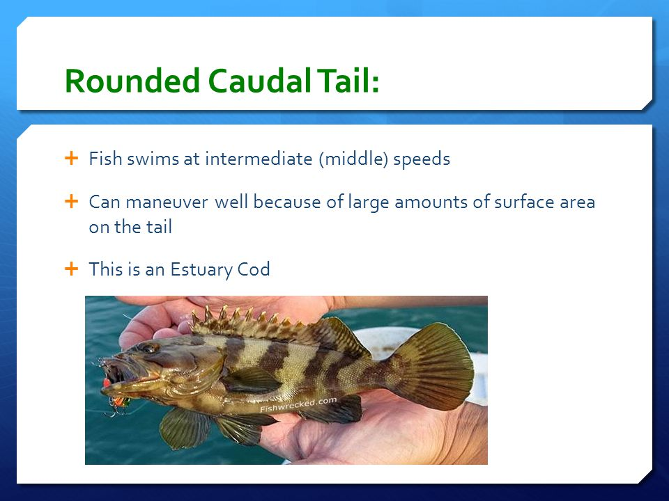 Rounded Caudal Tail: Fish swims at intermediate (middle) speeds
