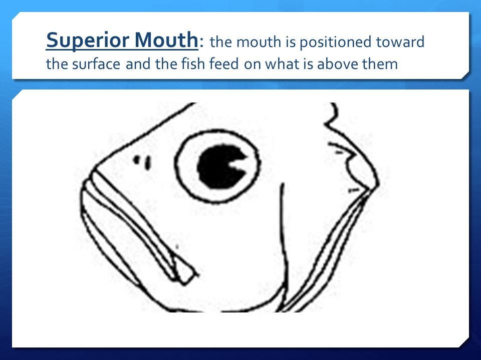 Superior Mouth: the mouth is positioned toward the surface and the fish feed on what is above them