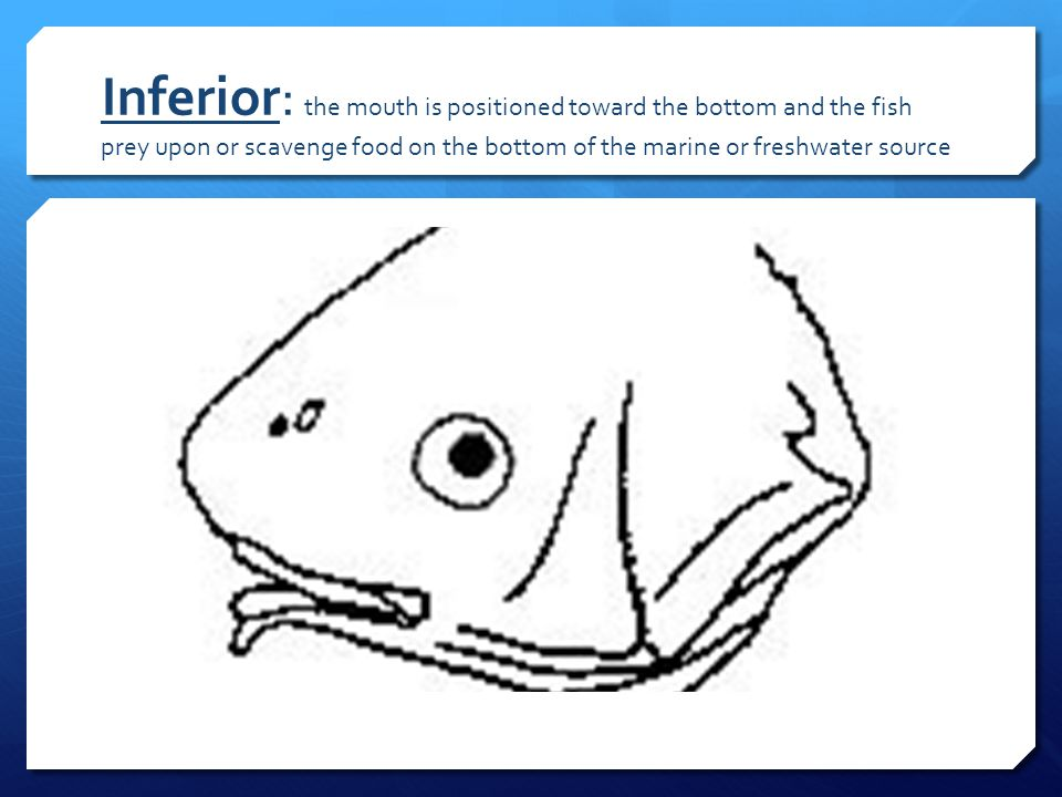 Inferior: the mouth is positioned toward the bottom and the fish prey upon or scavenge food on the bottom of the marine or freshwater source