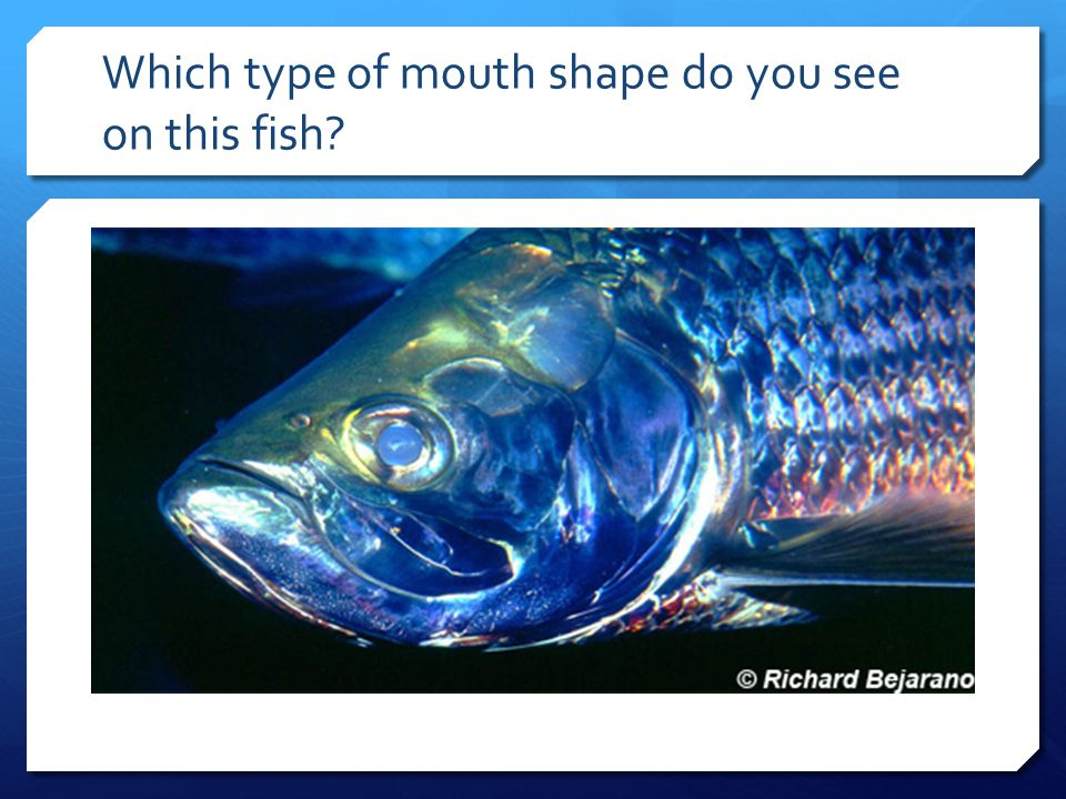 Which type of mouth shape do you see on this fish