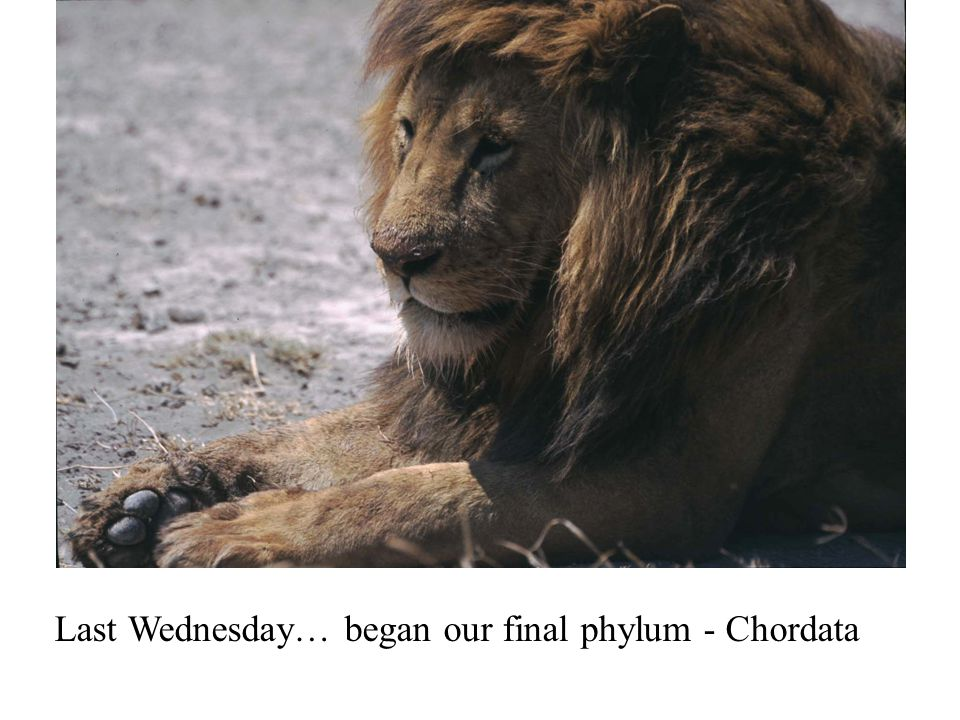 Last Wednesday… began our final phylum - Chordata