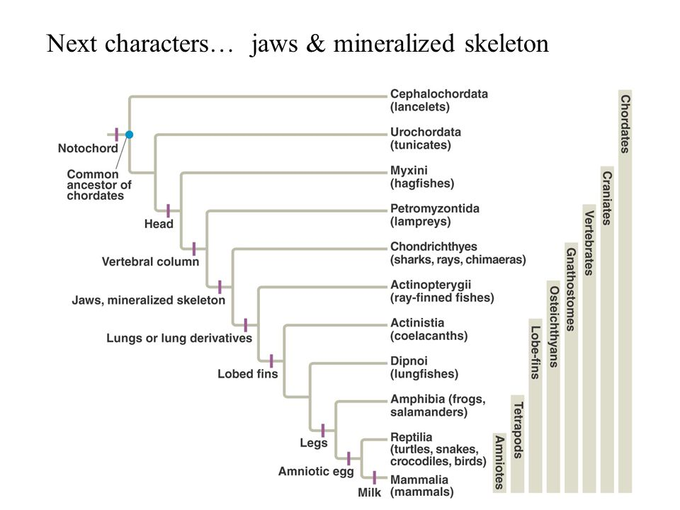 Next characters… jaws & mineralized skeleton
