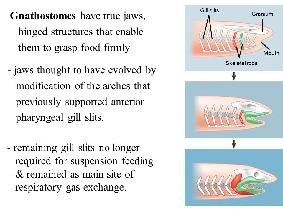 Gnathostomes have true jaws, hinged structures that enable