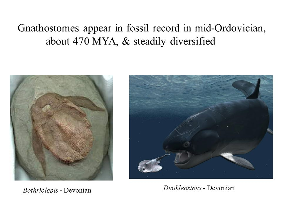 Gnathostomes appear in fossil record in mid-Ordovician,