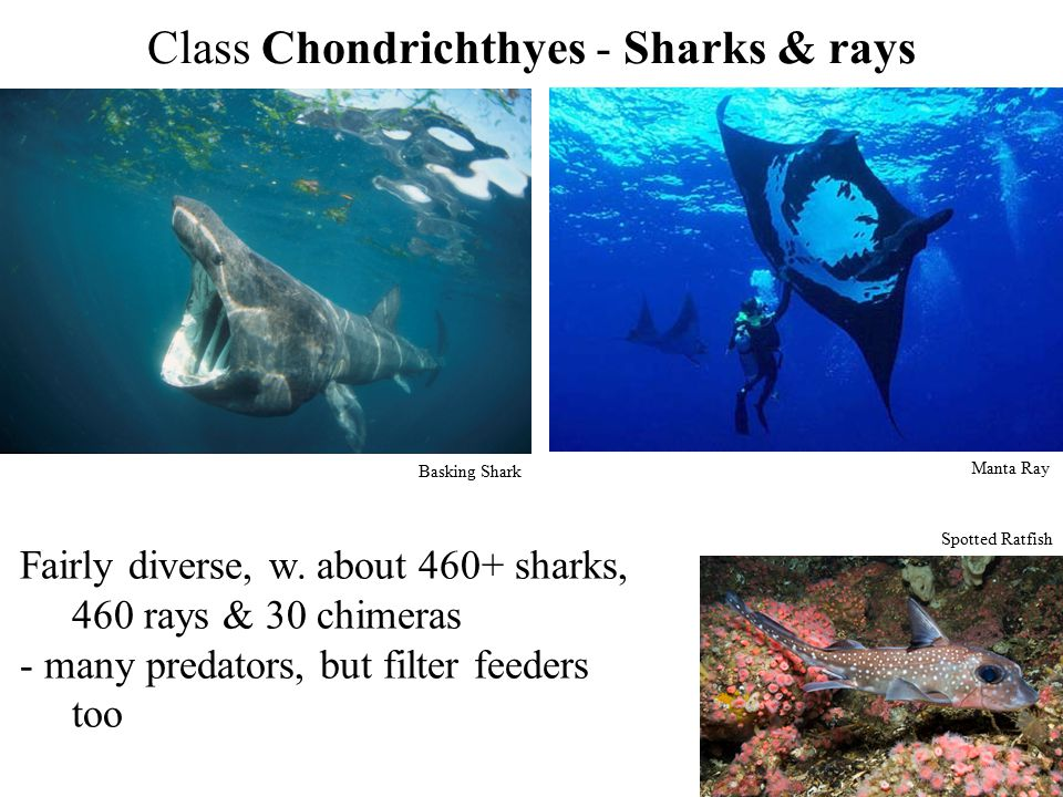 Class Chondrichthyes - Sharks & rays