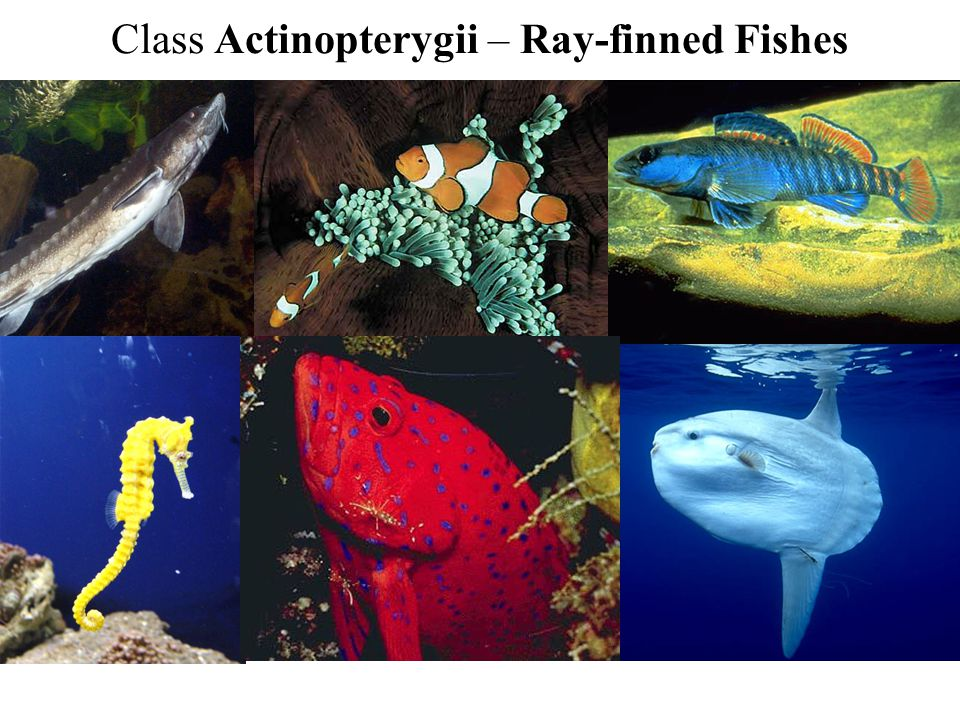 Class Actinopterygii – Ray-finned Fishes