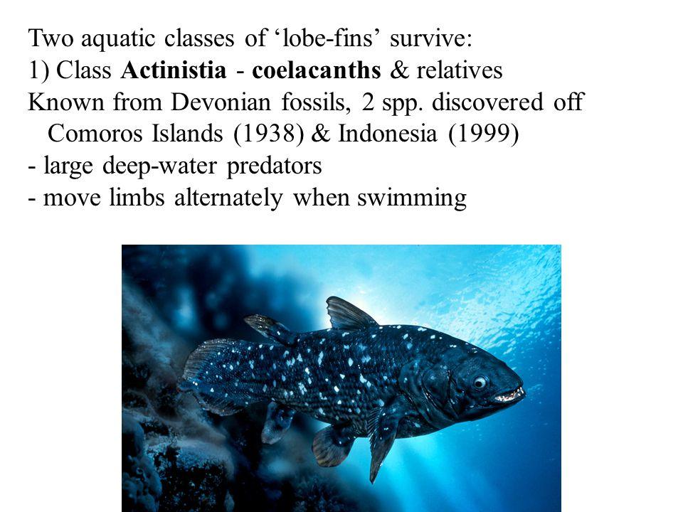 Two aquatic classes of 'lobe-fins' survive: