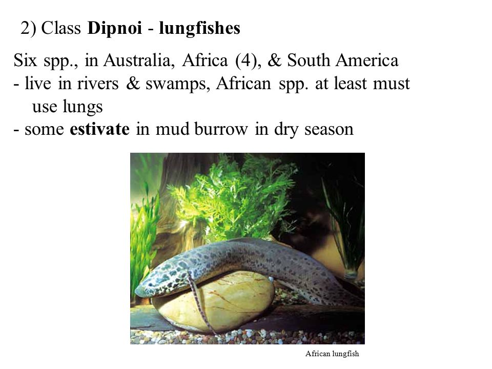 2) Class Dipnoi - lungfishes