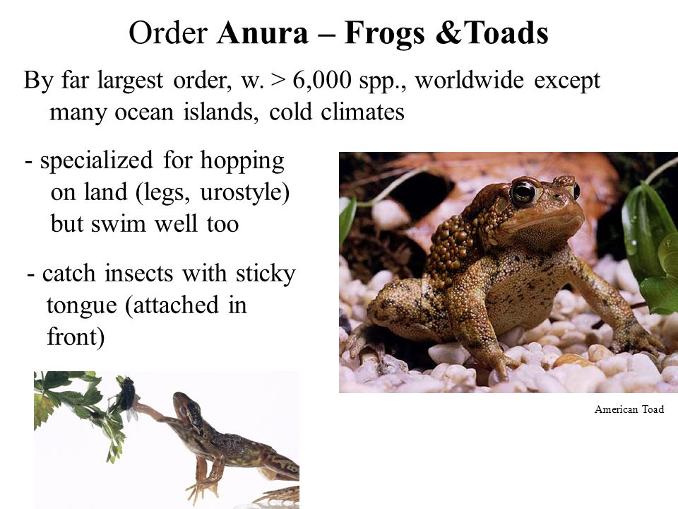 Order Anura – Frogs &Toads