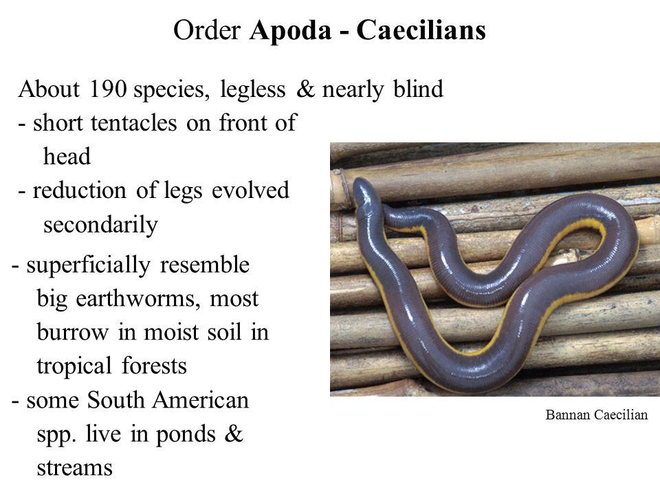 Order Apoda - Caecilians
