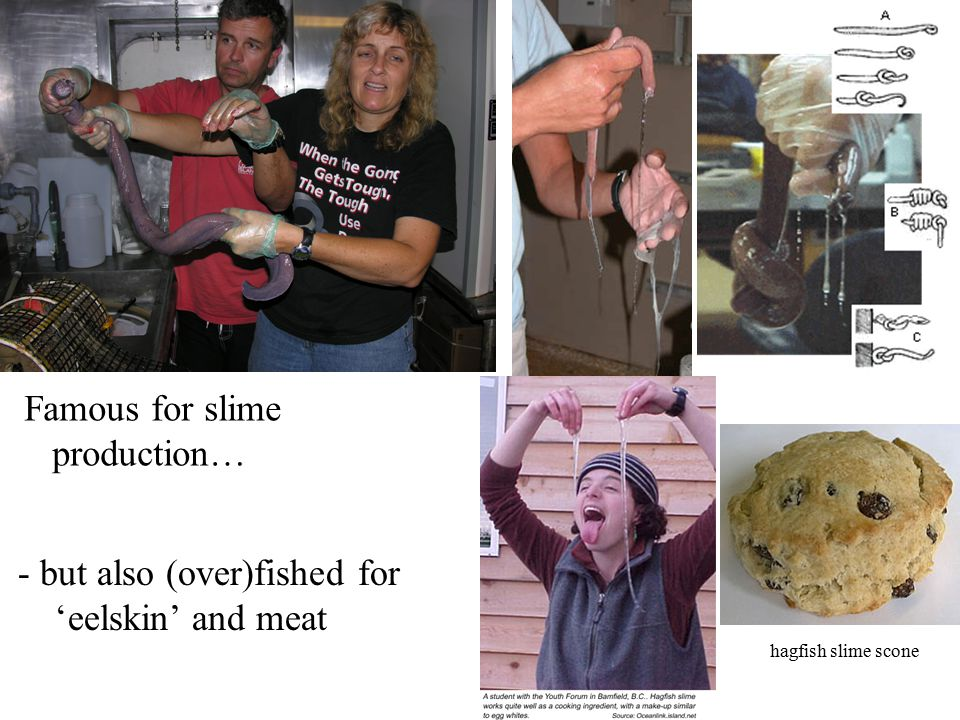 - but also (over)fished for 'eelskin' and meat