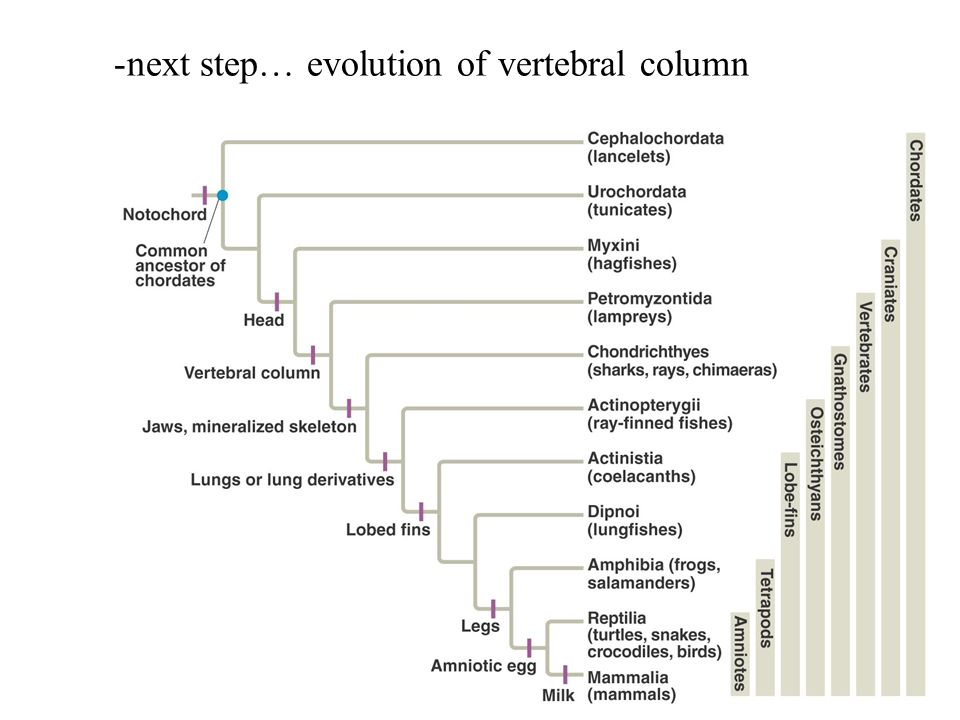 next step… evolution of vertebral column
