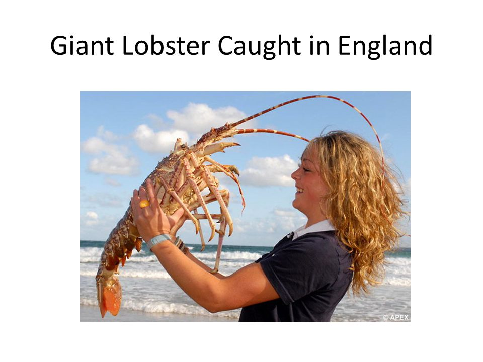 Giant Lobster Caught in England