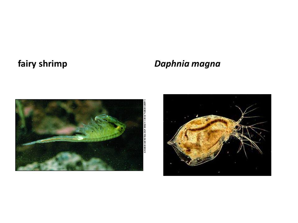fairy shrimp Daphnia magna
