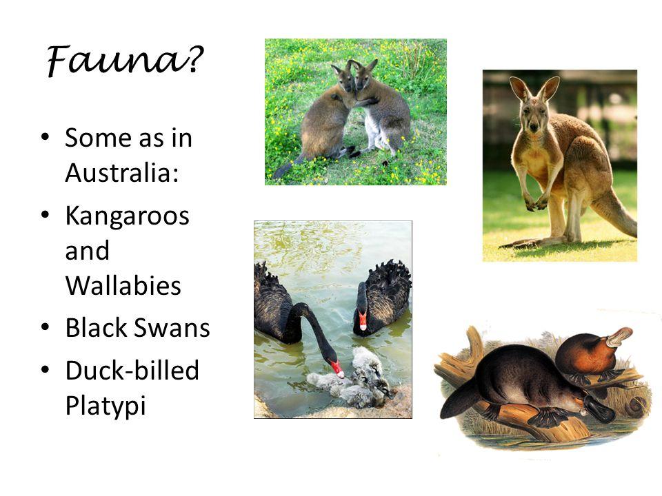 Fauna Some as in Australia: Kangaroos and Wallabies Black Swans