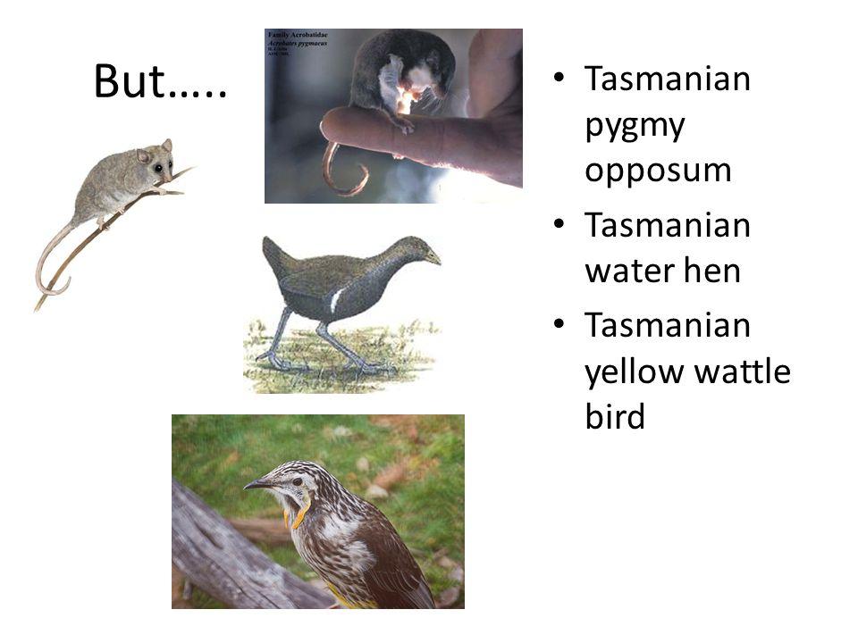 But….. Tasmanian pygmy opposum Tasmanian water hen