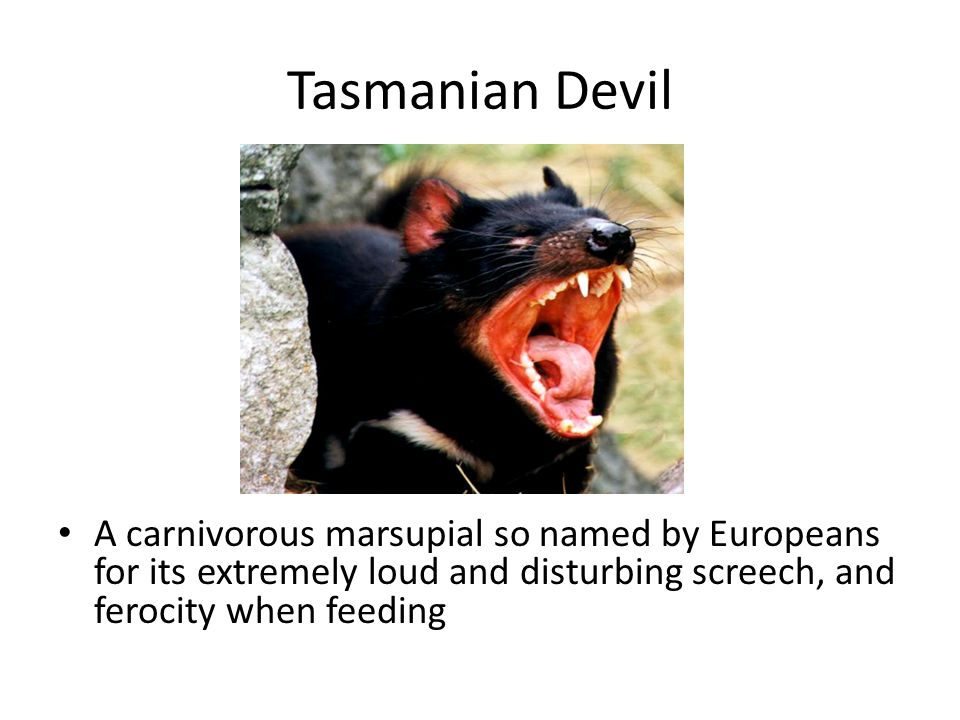 Tasmanian Devil A carnivorous marsupial so named by Europeans for its extremely loud and disturbing screech, and ferocity when feeding.