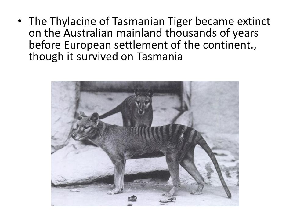 The Thylacine of Tasmanian Tiger became extinct on the Australian mainland thousands of years before European settlement of the continent., though it survived on Tasmania