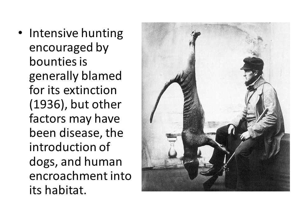 Intensive hunting encouraged by bounties is generally blamed for its extinction (1936), but other factors may have been disease, the introduction of dogs, and human encroachment into its habitat.