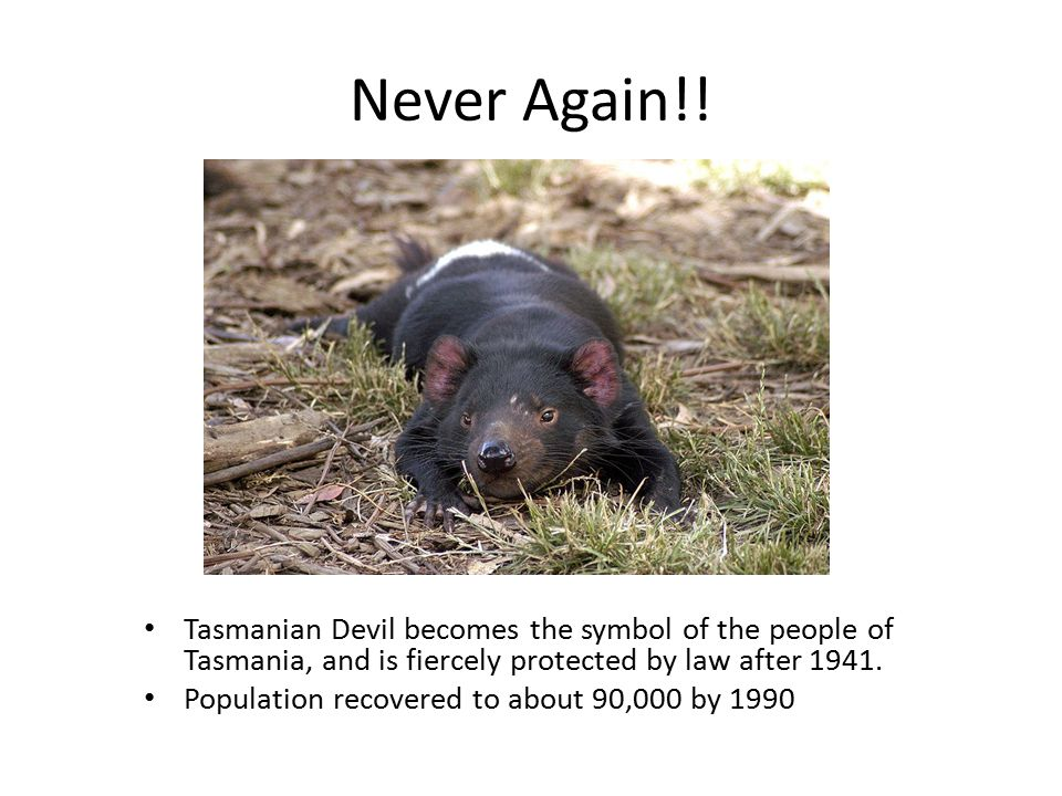 Never Again!! Tasmanian Devil becomes the symbol of the people of Tasmania, and is fiercely protected by law after 1941.