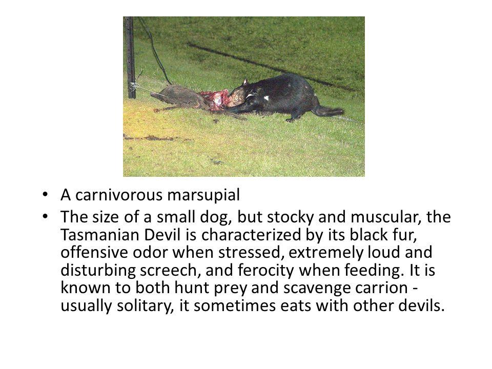 A carnivorous marsupial