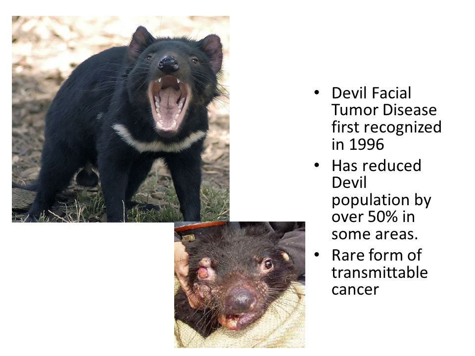 Devil Facial Tumor Disease first recognized in 1996