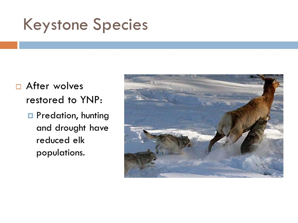 Keystone Species After wolves restored to YNP: