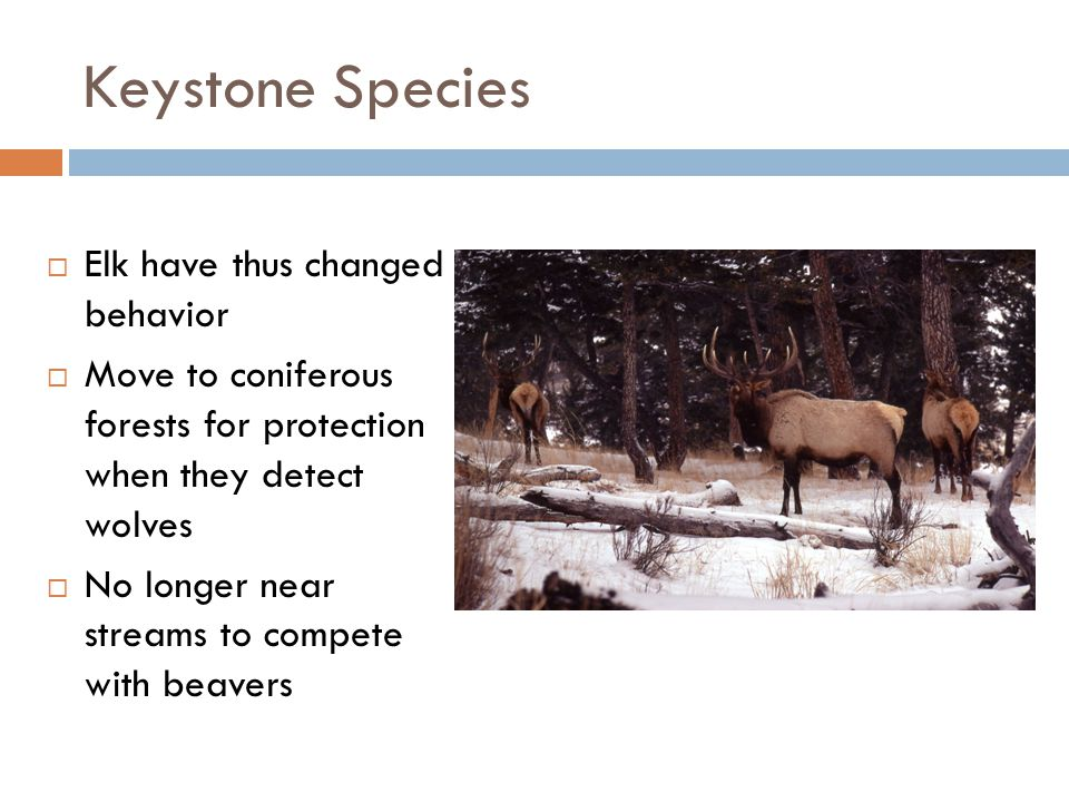 Keystone Species Elk have thus changed behavior
