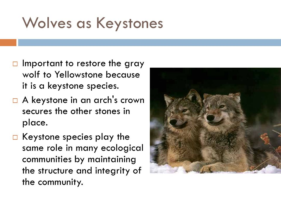 Wolves as Keystones Important to restore the gray wolf to Yellowstone because it is a keystone species.