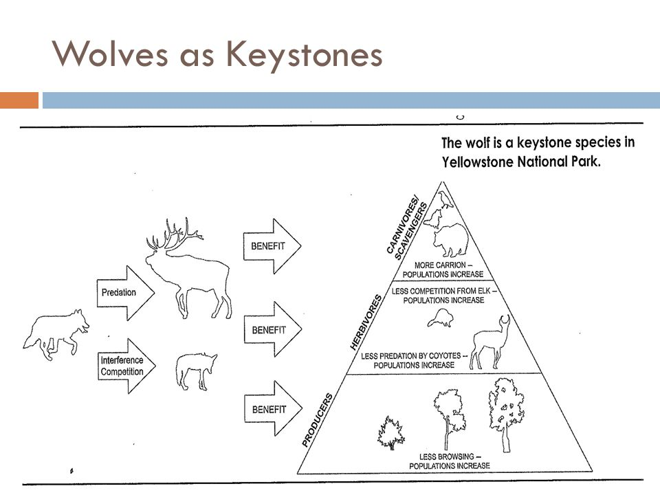 Wolves as Keystones