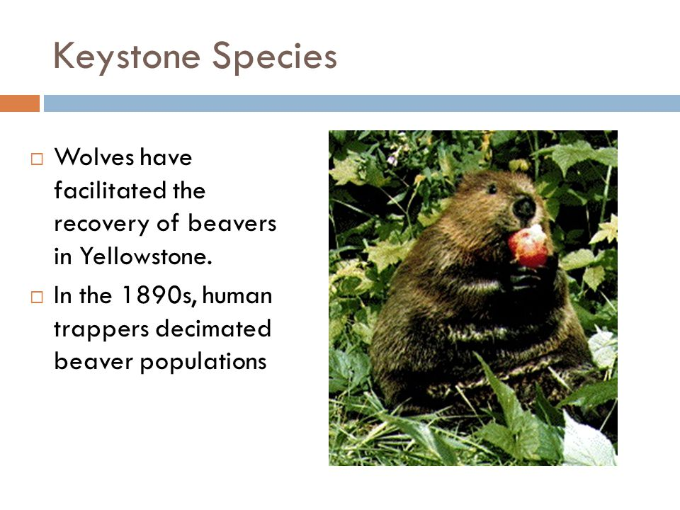Keystone Species Wolves have facilitated the recovery of beavers in Yellowstone.