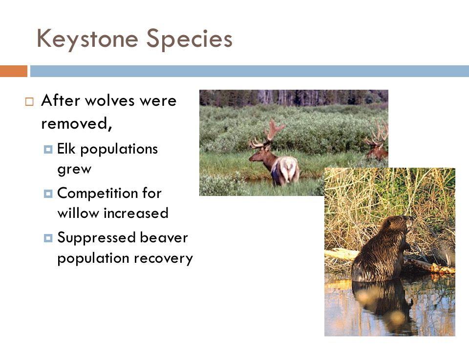 Keystone Species After wolves were removed, Elk populations grew