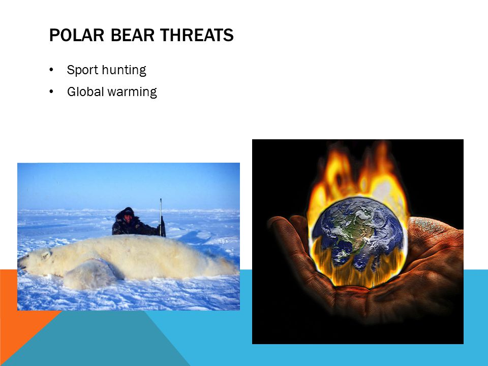 Polar bear threats Sport hunting Global warming