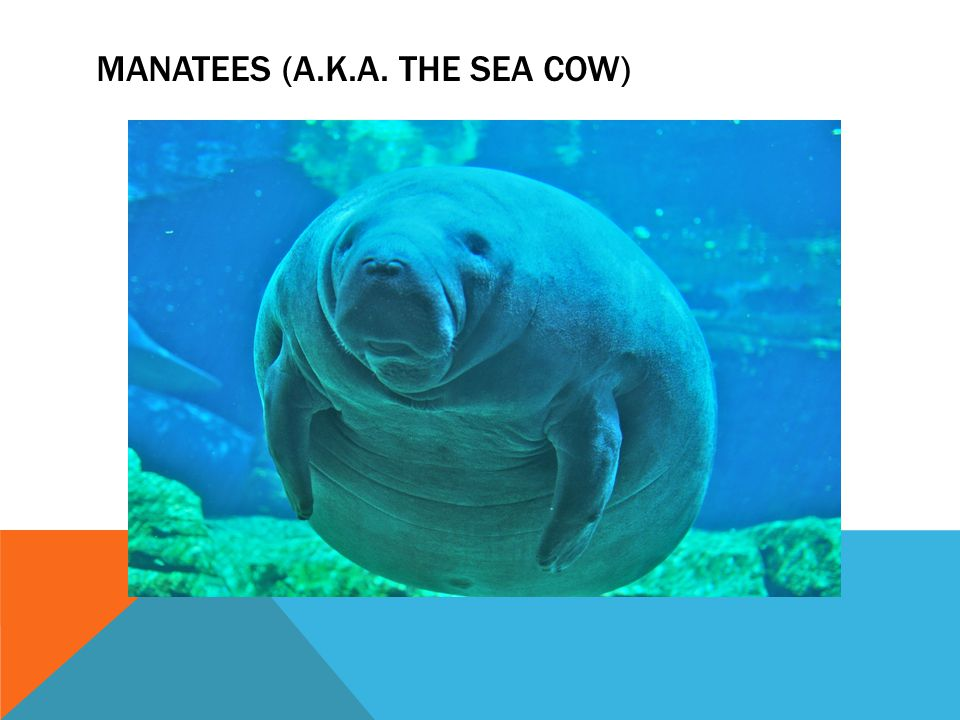 Manatees (A.K.A. the sea cow)