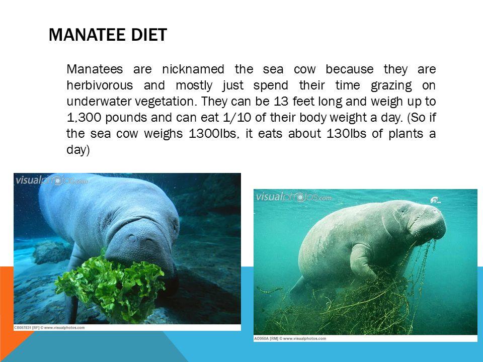 Manatee diet