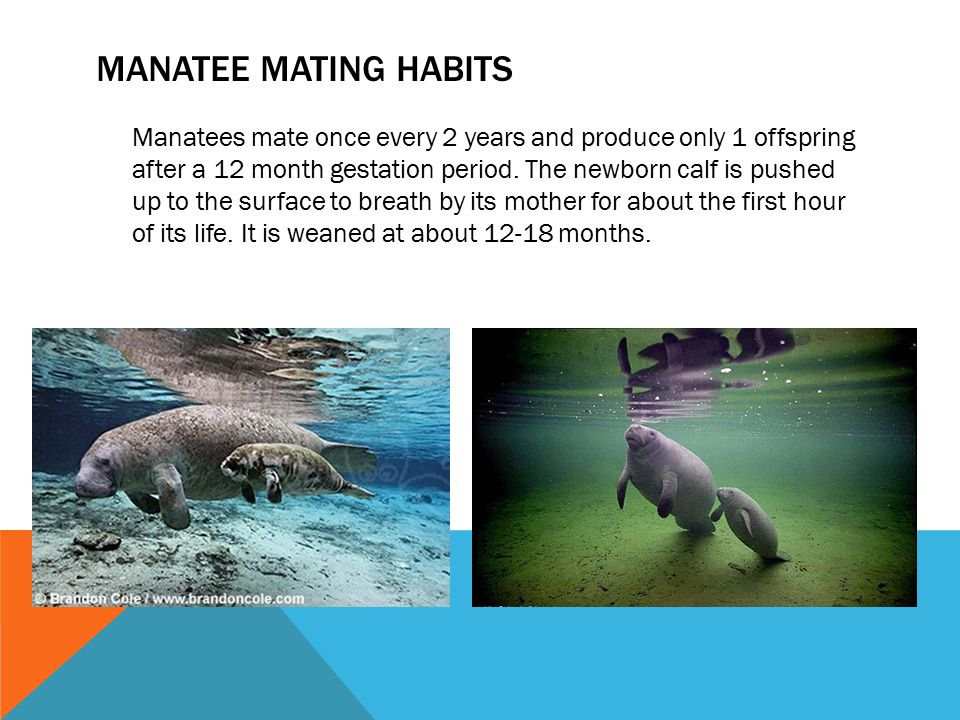 Manatee mating habits