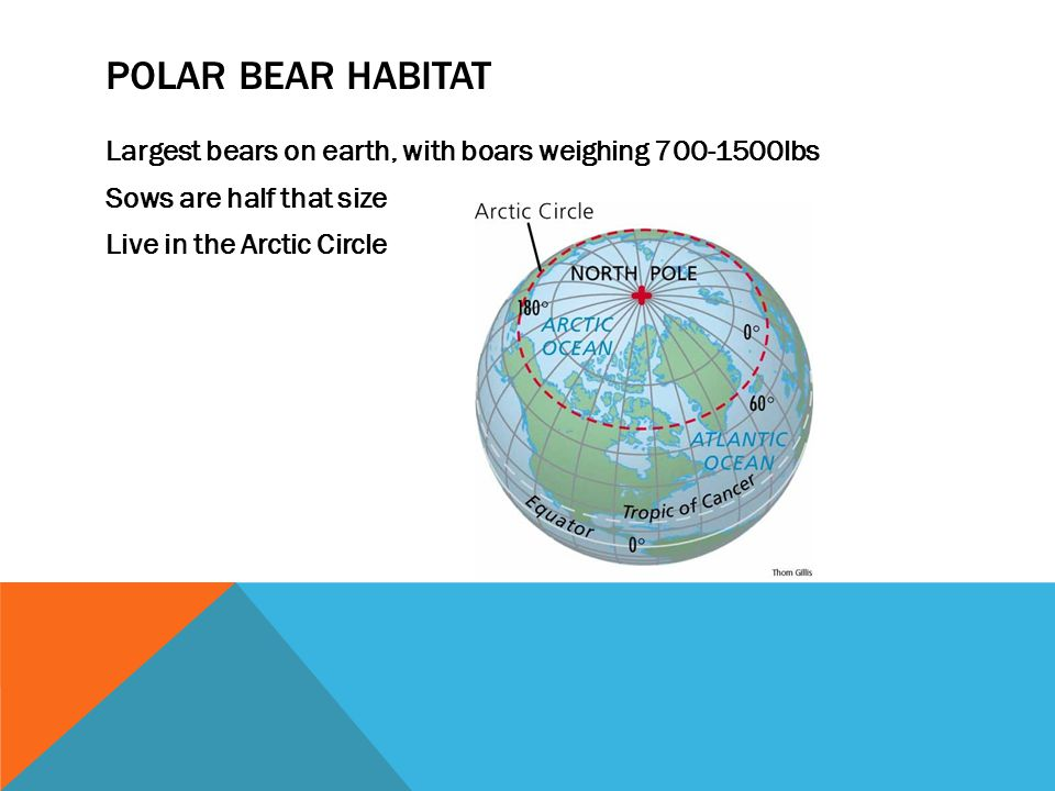Polar bear habitat Largest bears on earth, with boars weighing 700-1500lbs Sows are half that size Live in the Arctic Circle