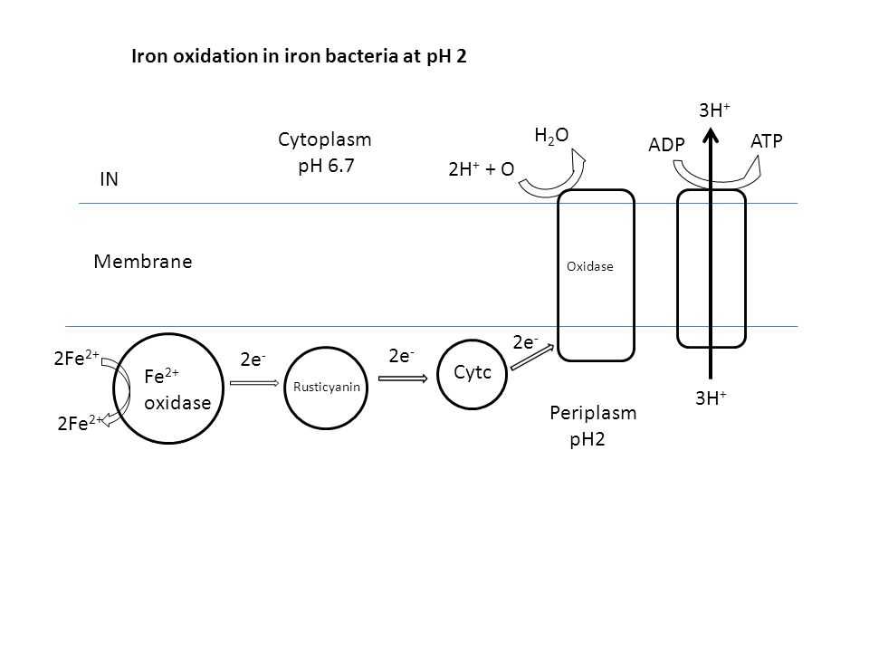 Iron oxidation in iron bacteria at pH 2