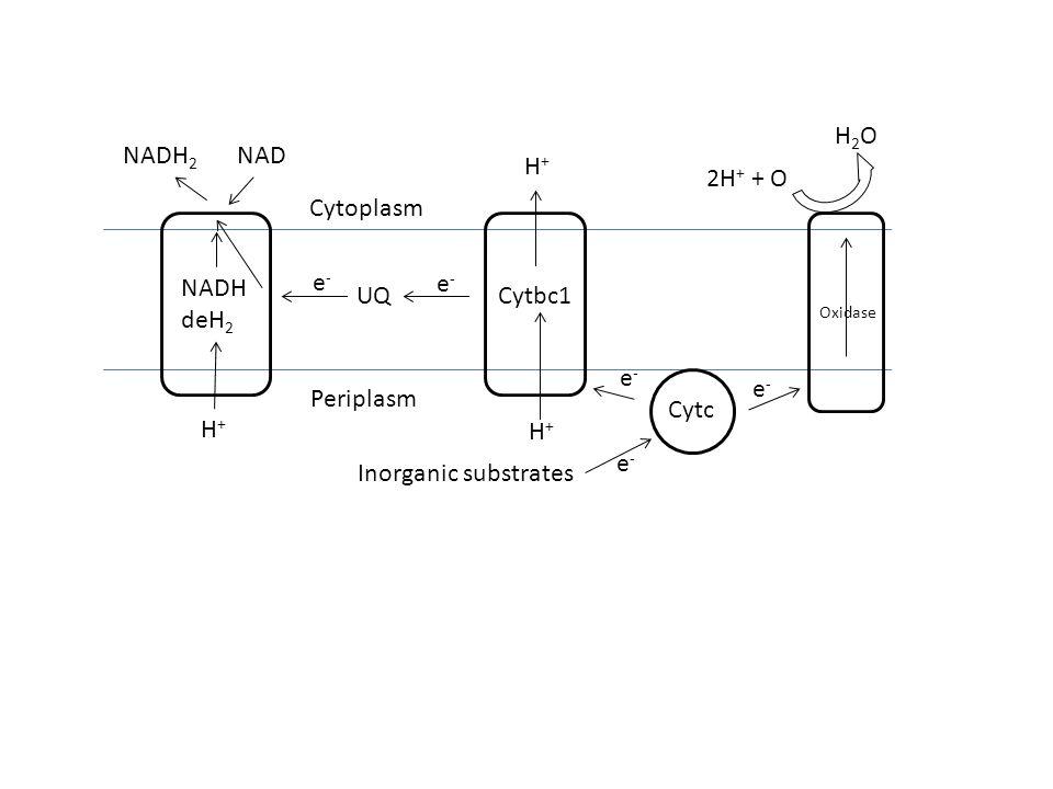H2O 2H+ + O Cytc Cytbc1 NADH deH2 UQ H+ NADH2 NAD Cytoplasm Periplasm